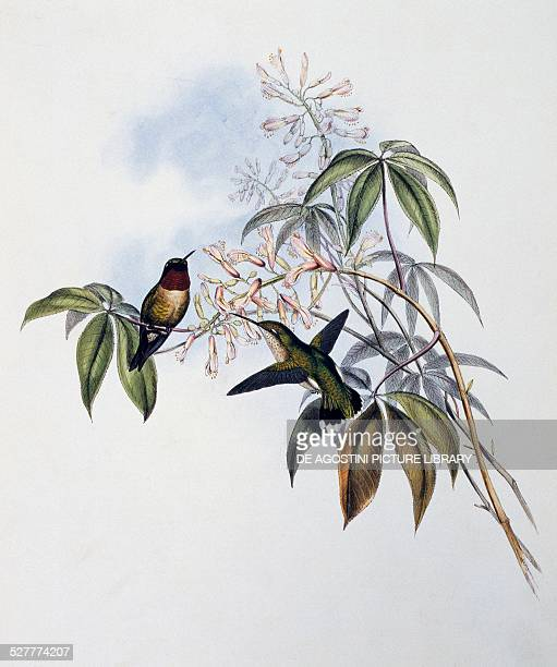 Rubythroated Hummingbird engraving from A Monograph of the Trochilidae or Humming Birds by John Gould United Kingdom 19th century
