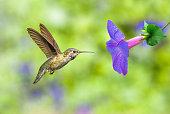 Hummingbird feeding from purple flower over green summer background