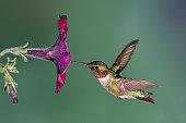 A ruby-throated hummingbird flying into a petunia flower.