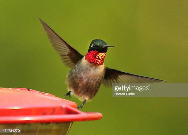 A rubythroated hummingbird takes off from a backyard feeder on a rear deck