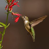 Young Male Ruby-throated Hummingbird foraging on a herbicide free Cardinal Flower