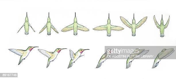 Rubytopaz Hummingbirds illustration