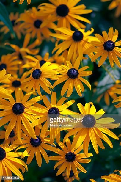 Rudbeckia Daisy Flowers. Black-Eyed Susan.
