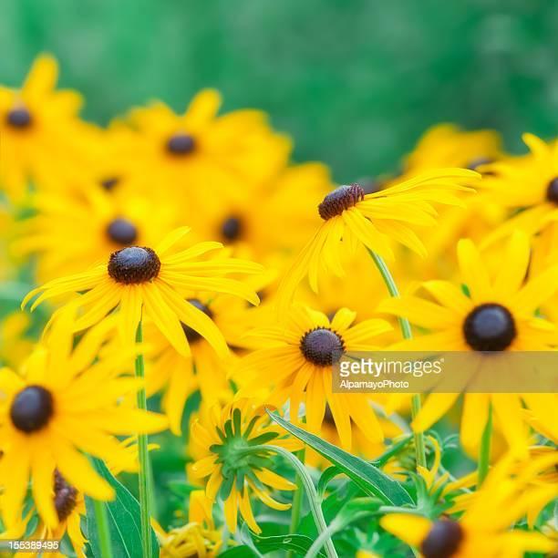 Rudbeckia hirta (Black-Eyed Susan) - VII