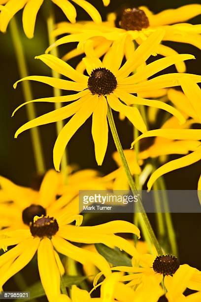 Rudbeckia laciniata or black-eyed Susan