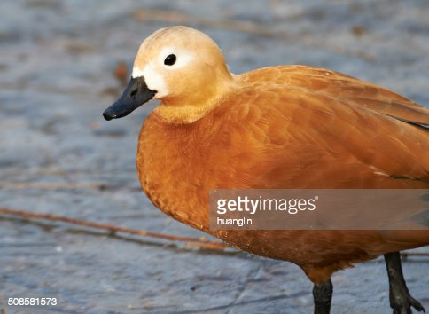 Ruddy Shelduck : Stock Photo