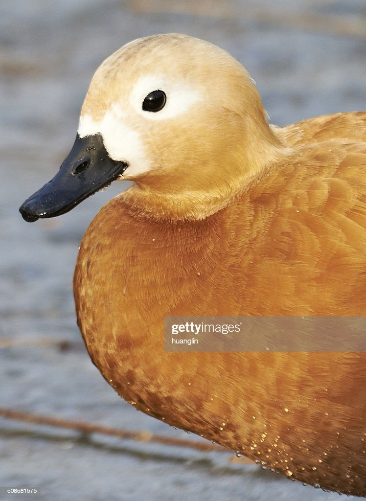 Ruddy Shelduck : Stockfoto
