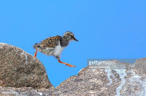 Ruddy Turnstone chick