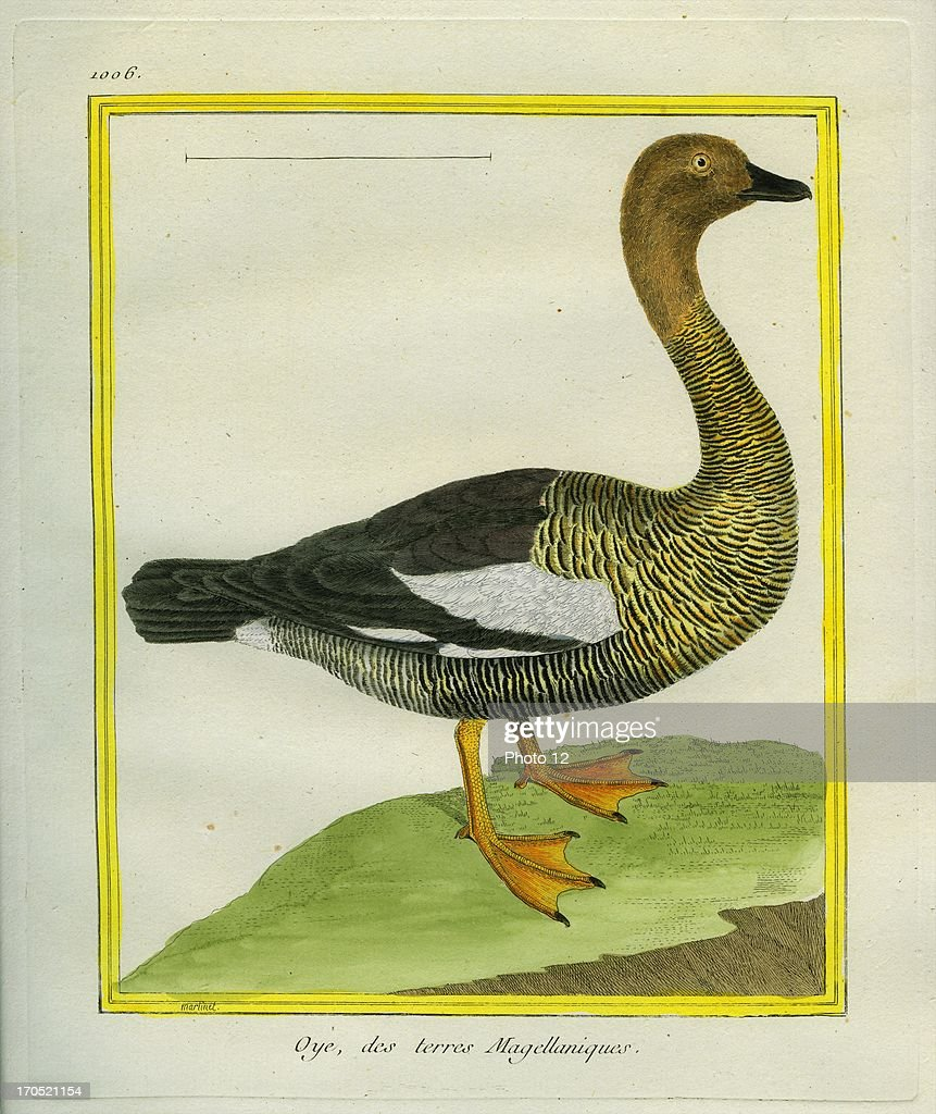 Ruddyheaded Goose Chloephaga rubidicepsRuddyheaded GooseGeorgesLouis Leclerc Comte of Buffon 'Natural History of birds fish insects and reptiles'...