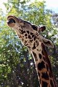 Closeup of giraffe sticking out tongue