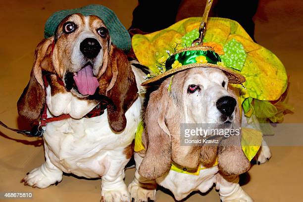 Rudy and Pawtunia Basset Hounds from Absecon NJ wears their Easter Bonnets at the sports and civic center on April 4 2015 in Ocean City New Jersey