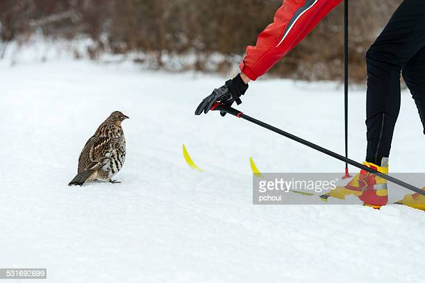 Ruffed Grouse and cross-country skier