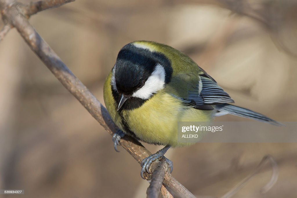 Ruffled bird tit on a tree branch in winter : Stock Photo