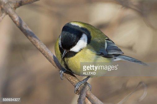 Ruffled bird tit on a tree branch in winter : Stock Photo