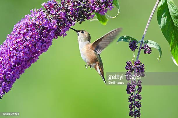 Rufous Hummingbird feeding on a Butterfly Bush XL