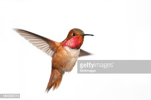 Rufous Hummingbird Male - White Background