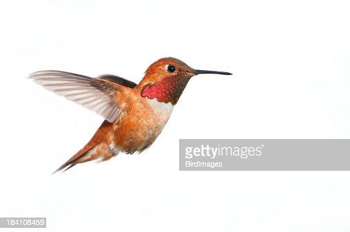 Rufous Hummingbird Male - White Background XL