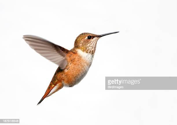 Rufous Hummingbird - White Background