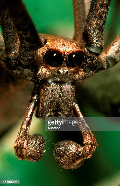 Rufous netcasting spider Deinopis subrufa face of male showing palps ending in bulbous mating organs Eastern Australia from Tasmania to southern...