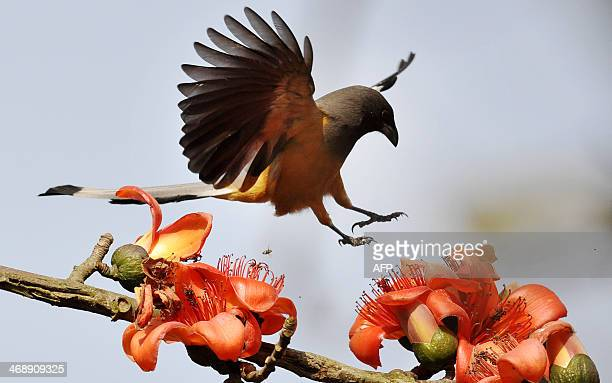 A Rufous Treepie bird flies among Simolu flowers in a tree on the outskirts of Guwahati on February 12 2014 This seasonal flower attracts a variety...