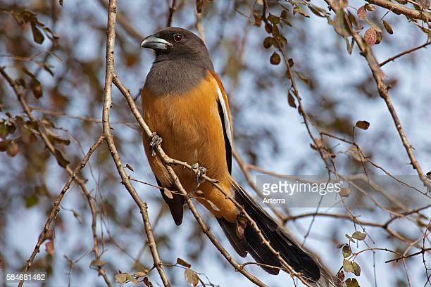 Rufous Treepie perched in tree in the Ranthambore National Park Sawai Madhopur Rajasthan India