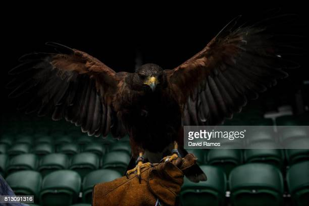 Rufus a Harris hawk on Centre Court during his early morning patrol ahead of day nine of the Wimbledon Lawn Tennis Championships at the All England...