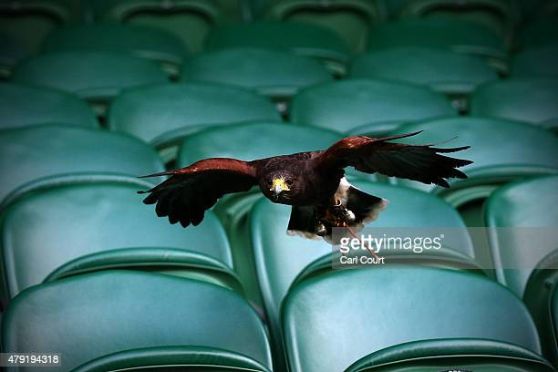 Rufus the Harris Hawk flies over seats on centre court where it is used to scare away pigeons ahead of play on day four of the Wimbledon Lawn Tennis...