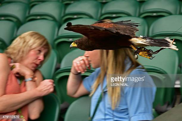 Rufus the Harris Hawk used to scare away pigeons flys around the seating racks on Centre Court on day three of the 2015 Wimbledon Championships at...