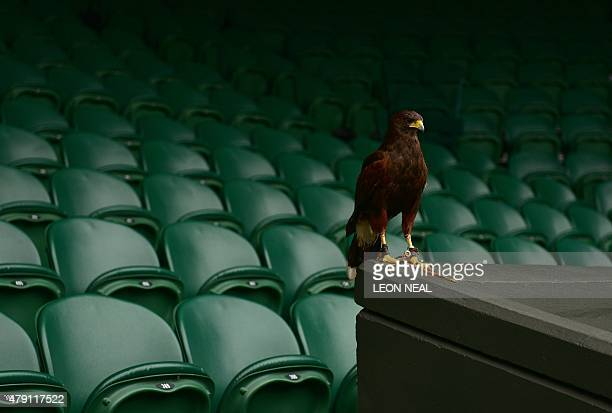 Rufus the Harris Hawk used to scare away pigeons sits near the seating racks on Centre Court on day three of the 2015 Wimbledon Championships at The...