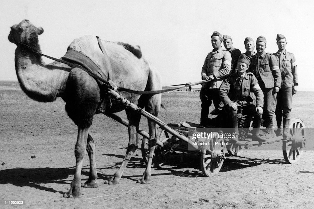 Rumanian soldiers of the zone behind the lines being drawn by a camel on the Stalingrad front Stalingrad September 1942
