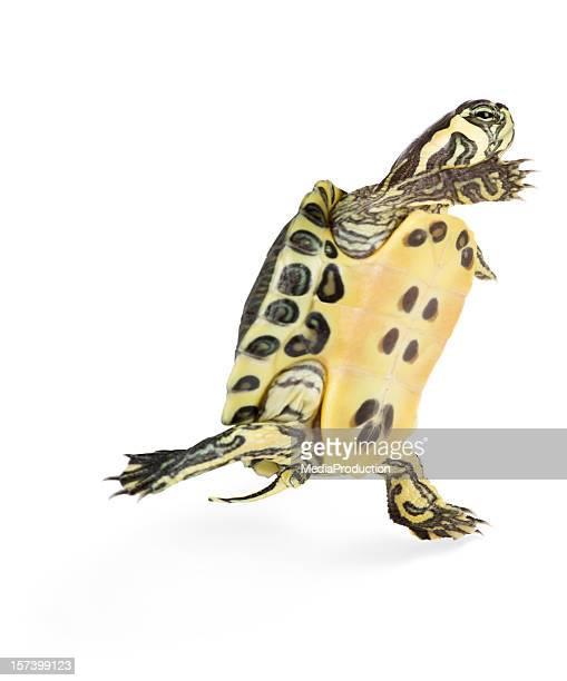 runaway turtle