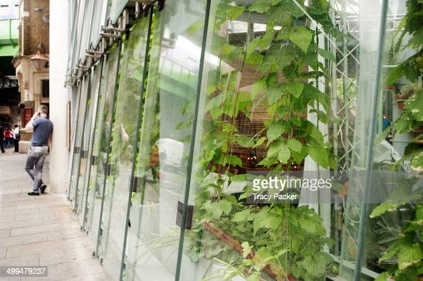 Runner Bean plants wind their way up tall canes from their raised vegetable beds growing salad leaves herbs around the glass walls of the greenhouse...