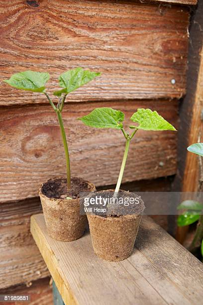 Runner bean seedlings, outdoors