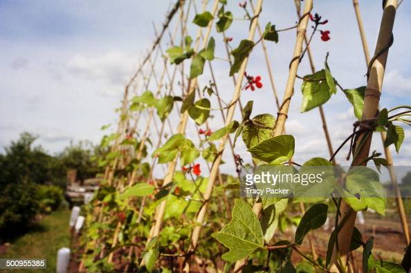 Runner Beans twist up around supportive bamboo canes in search of sunlight in this urban allotment in the city of Bristol