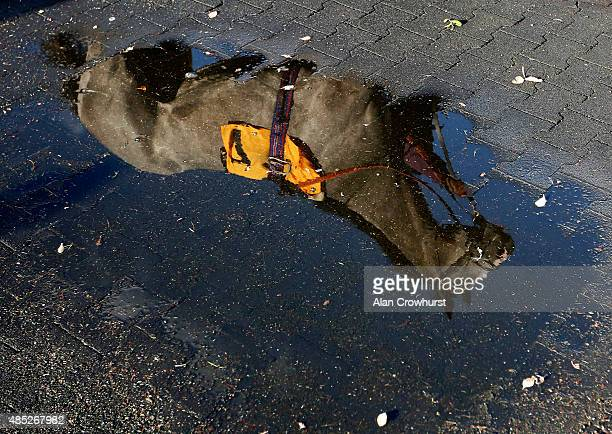 A runner is reflected in a puddle as it walks in the parade ring at Kempton Park racecourse on August 26 2015 in Sunbury England