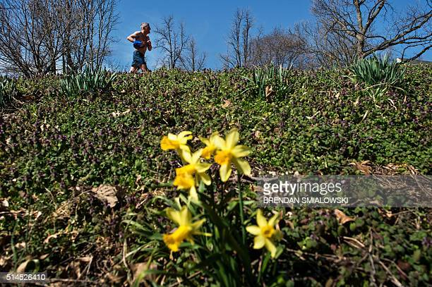 A runner passes flowers during a warm spring day March 9 2016 in Washington DC / AFP / Brendan Smialowski