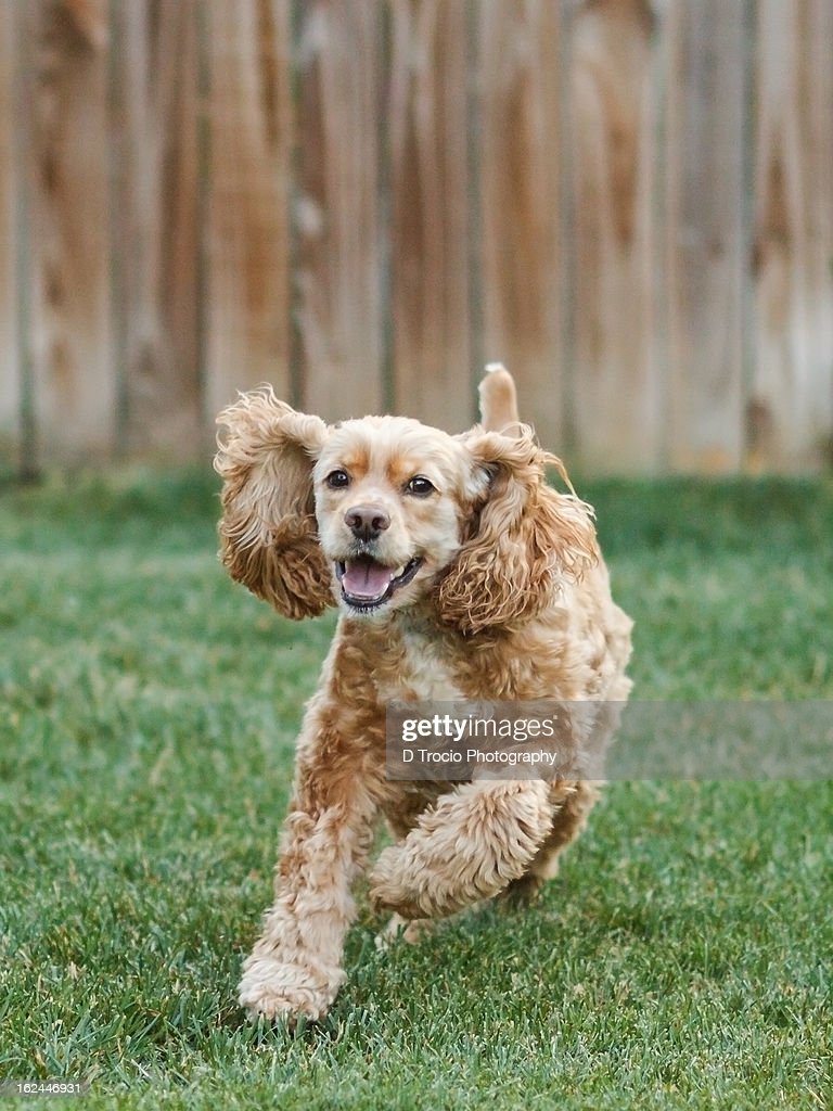 Running American Cocker Spaniel