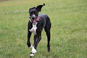 funny black great dane is running in the garden with open mouth