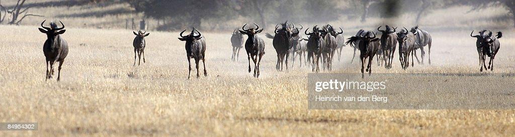 Running Blue Wildebeest (Connochaetes taurinus) herd running, Kgalagadi Transfrontier Park, Northern Cape Province, South Africa