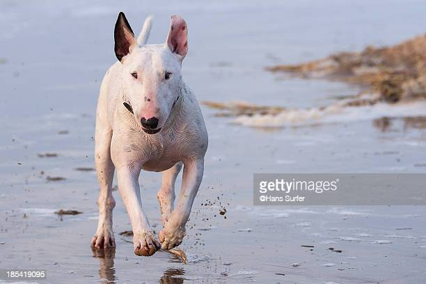 Running Bullterrier