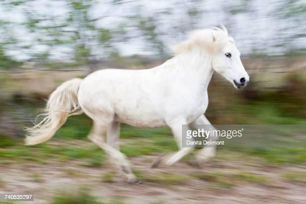 Running Camargue horse (Equus Ferus Caballus), Saintes-Maries-de-la-Mer, Camargue, France