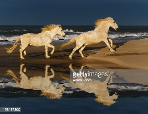 Running Camargue horses and reflection