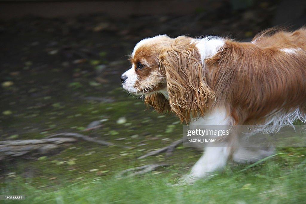 Running Cavalier King Charles Spaniel : Stock Photo