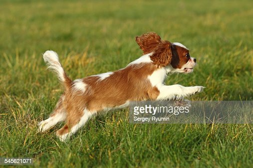 Running cavalier king Charles spaniel