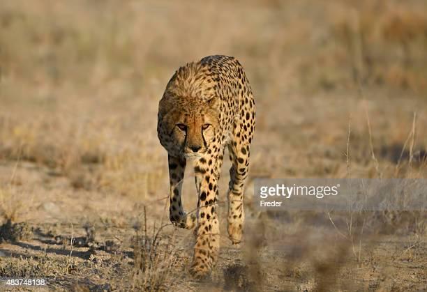 running cheetah in namibia