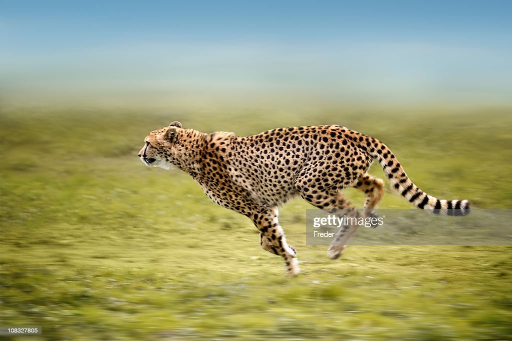 running cheetah : Stock Photo