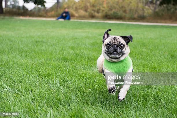 Running dog making eye contact