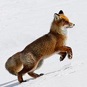 Running Fox.