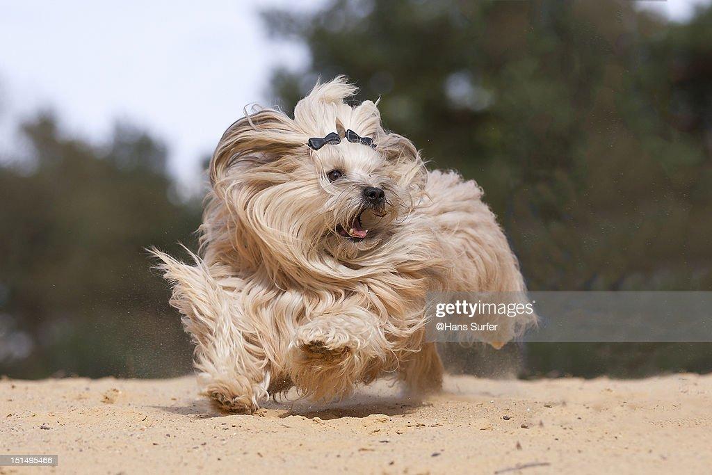 Running Havanese dog : Stock Photo