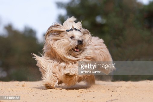 Running Havanese dog : Stock Photo